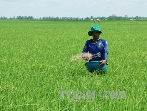 Sóc Trăng: Nông dân tích cực chăm sóc lúa vụ hè thu