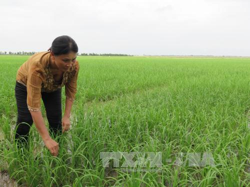Biến đổi khí hậu: Khảo nghiệm giống lúa chịu mặn cao