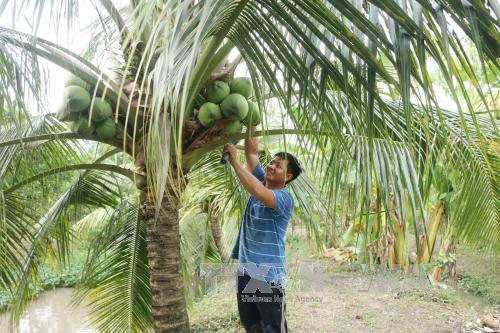 Sóc Trăng: Phát triển cây dừa thích ứng với biến đổi khí hậu