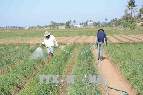 Sóc Trăng: Thị xã Vĩnh Châu gieo trồng 4.980 ha diện tích hành chính vụ