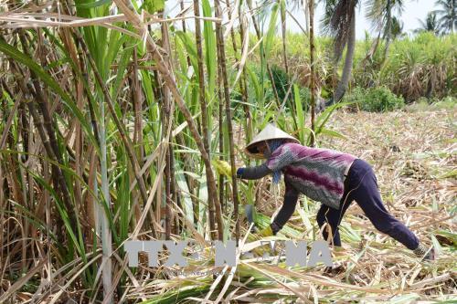 Sóc Trăng: Đẩy nhanh tiến độ thu hoạch mía
